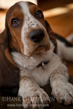 Basset Hound Puppy by Hank Christensen, via Flickr