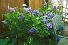 I planted these gorgeous hydrangas several years ago, perhaps around 10 or so yrs ago....every year I give them a different kind of fertilizer just to see what color they make of it with their blossoms.
