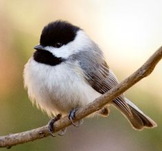 Black-capped Chickadee | Cutest Paw