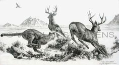"""Life is Full Of Choices"" $85 wildlife pencil drawing is of a mountain lion making a choice on which mule deer to go after, by Virgil C. Stephens"