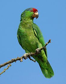 The Red-crowned Amazon, (Amazona viridigenalis) also known as Red-crowned Parrot, Green-cheeked Amazon, or Mexican Red-headed Parrot, is an endangered Amazon parrot native to northeastern Mexico. The current native wild population of between 1,000 and 2,000 is decreasing. The main threats to its survival are the illegal export of trapped birds from Mexico to the United States and the destruction of habitat.