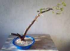 Bonsai-pinus sylvestris...bunjin yamadori trees. First time carving the deadwood.