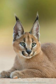 Caracal or desert lynx and cambozola strudel, and pets farm singapore airport luggage. Caracal Caracal, Caracal Kittens, Serval Cats, Small Wild Cats, Big Cats, Cute Cats, Outdoor Cat Shelter, Outdoor Cats, Nature Animals