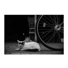 https://flic.kr/p/xzt7VX | Mayu September 2015  #cat #smallcats #blackandwhitephotography