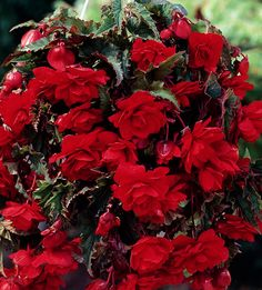 Begonia 'Red Giant' will look fabulous in a flower basket or a patio pot