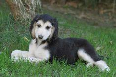 Domino puppy