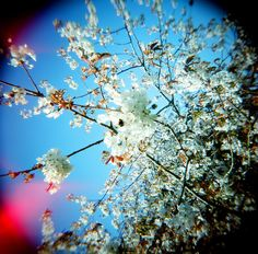 east cost blossom, shot on Holga at my Aunties house, love the bee and the light leaks.    #photography #Holga #vhairimurrayphotography #blossom   #fineart