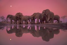 Frans Lanting    Twilight of the Giants, Botswana, 1989