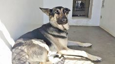 4/24/25 NOT SAFE RETURNED to the SHELTER Please SHARE She is gorgeous and gentle and sweet but she is scared and confused and this beauty needs help. Please SHARE, a FOSTER would save her life. Thanks! #A4816098 My name is Harley and I'm an approximately 1 year, 7 month old female germ shepherd. I am not yet spayed. I have been at the Carson Animal Care Center since April 24, 2015. I am available on April 24, 2015. You can visit me at my temporary home at C327…