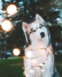 Wonderful All About The Siberian Husky Ideas. Prodigious All About The Siberian Husky Ideas. Animals And Pets, Baby Animals, Funny Animals, Cute Animals, Funniest Animals, Animal Fun, Funny Cats, Cute Puppies, Cute Dogs