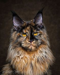 Photographer Captures The Incredible Beauty Of The Maine Coon   facebook