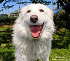 CALIF URGNT BALLOCH is an adoptable Great Pyrenees Dog in Sacramento, CA. NORTHERN CALIFORNIA: URGENT FOSTER OR ADOPTION NEEDED ASAP Balloch is a 2 year old female Akbash Dog cross, possibly blended w...
