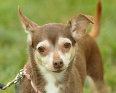 Meet Jelly a Petfinder adoptable Chihuahua Dog | Lambertville, NJ | JELLY is a 4-5 year old purebred Chihuahua who has a beautiful rich chocolate coat & tan face...
