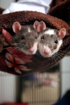 Rats are incredibly social and it is therefore best to keep them in pairs or groups.