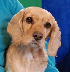 Lady is a cuddly, endearing girl who loves gentle attention, sitting up against you closely for comfort.  She is a well-behaved Cocker Spaniel, about 8 years of age, spayed girl, debuting for adoption today at Nevada SPCA (www.nevadaspca.org).  Lady is good with dogs and reportedly housetrained, crate-trained, and compatible with older kids.  She doesn't like to be alone, so a home with another dog or where a person is home most of the time is ideal.