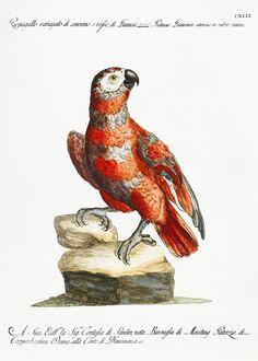 how do html color codes work Vintage Birds, Vintage Images, Vintage Bird Illustration, Bird Artwork, Parrot Bird, Classical Art, Bird Pictures, Cockatoo, Exotic Birds