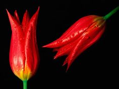 Tulipanes Rojo