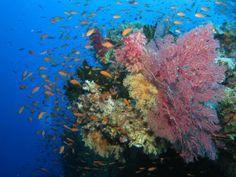 coral-islas-fiji