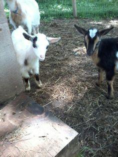 My cute little goats!!