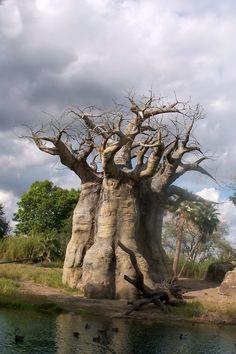 Banyon tree...Animal Kingdom..WDW