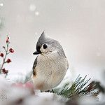 Tufted Titmouse in snow on evergreen branch with berries