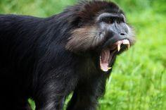 Black Macaque Bağırması