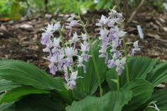 """Hardy Terrestrial Orchid - Calanthe reflexa Zone: 7a to 9b, Height: 12"""" tall Culture: Part Sun to Shade http://www.plantdelights.com/Calanthe-reflexa-for-sale/Buy-Hardy-Terrestrial-Orchid/"""