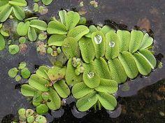"""Farn, Fern, 蕨, """"Der Gemeine Schwimmfarn (Salvinia natans), auch Gewöhnlicher Schwimmfarn genannt, ist eine Wasserpflanze aus der Gruppe der Farne und gehört zur Familie der Schwimmfarngewächse (Salviniaceae)."""" Gewöhnlicher Schwimmfarn (Salvinia natans)"""