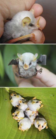 Fluffy Honduran White Bat Baby