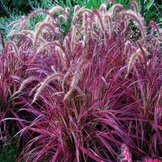 'Fireworks' fountain grass    The girliest of grasses: Predominantly pink, billowy, and, in summer, it dresses up with tassels. Zones 8-24; H1, H2. Needs part shade.