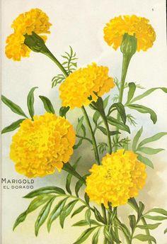 Marigold. El Dorado. Seed Annual 1917. D.M. Ferry & Co. Seedsmen. Detroit, Mich.