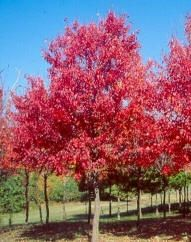 Red Maples 'sun valley'