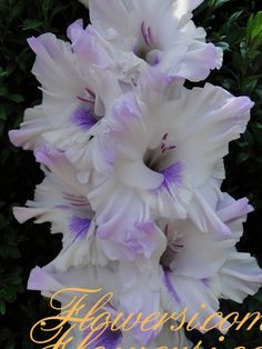 Gladiolus 'Blue Butterfly'