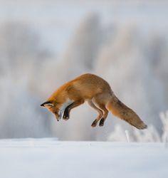 "beautiful-wildlife: ""Hunting by © Dmitriy Vilyunov """