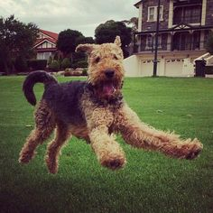 """401 Likes, 11 Comments - Airedale Terrier Central (@airedalecentral) on Instagram: """"Nice shot  #airedale #airedaleterrier #airedales #airedalesofinstagram #airedaleterriers…"""""""