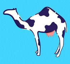 The Mysterious Medicinal Powers of Camel Milk-- GOOD