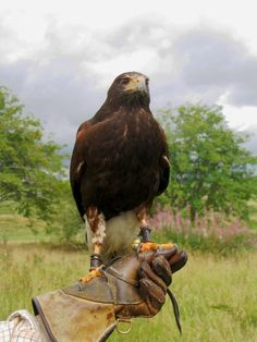 Harris Hawk in Scotland