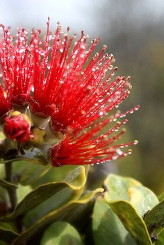 My favorite, ohi'a lehua Hawaii Flowers, Love Flowers, Beautiful Flowers, Tropical Plants, Tropical Flowers, Hawaiian Gardens, Flower Lei, Grow Together, Dew Drops
