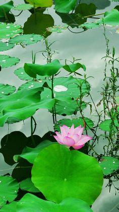 Fresh Lotus Pond #iPhone #6 #wallpaper