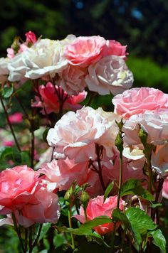 Beautiful pink rose garden in spring Beautiful Pink Roses, Love Rose, Beautiful Flowers, Roses Only, Rose Of Sharon, Rose Pictures, Climbing Roses, English Roses, Color Rosa