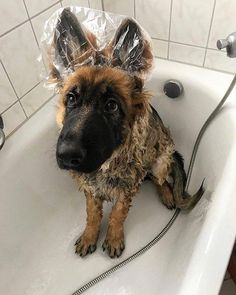 Wicked Training Your German Shepherd Dog Ideas. Mind Blowing Training Your German Shepherd Dog Ideas. Cute Funny Animals, Funny Animal Pictures, Dog Pictures, Funny Dogs, Bath Pictures, Dog Photos, Shepherd Puppies, German Shepherd Dogs, Baby German Shepherds