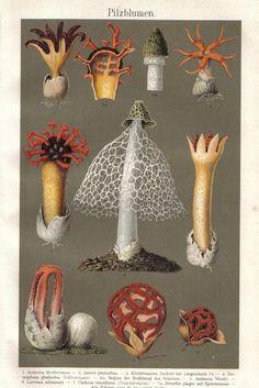 flowering mushrooms, original vintage lithograph, 1896