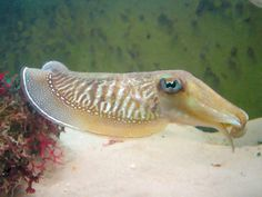 Cuttlefish Cuttlefish, Water Animals, Underwater, Pets, Blue, Under The Water, Animals And Pets