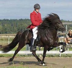 The beautiful & gaited Icelandic horse.