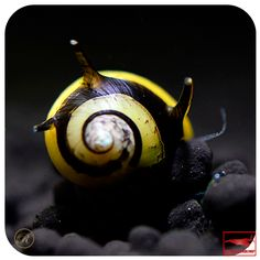 Antler snail black / yellow Aquarium Snails, Aquarium Fish, Fish Aquariums, Apple Snail, Shell House, Nano Tank, Sea Snail, Aquatic Plants, Freshwater Aquarium