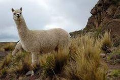 alpacas - Google Search
