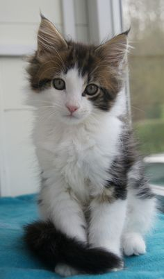 BLACK TABBY BLOTCHED WHITE BICOLOR MAINE COON    La Lau's Bobby Brown - n 22 03 - dob: 2013-10-24