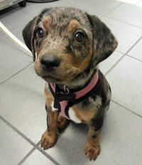 Roxy the Catahoula Leopard Dog Puppy - cute