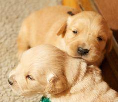 #Golden Retriever Puppies