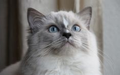 Download wallpapers Ragdoll Cat, kitten, muzzle, cute animals, cats, pets, Ragdoll